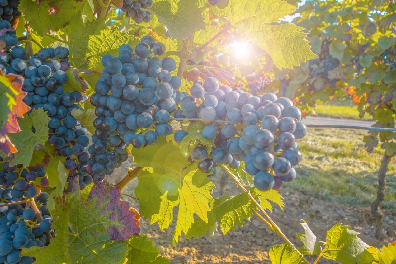 grapes-580346